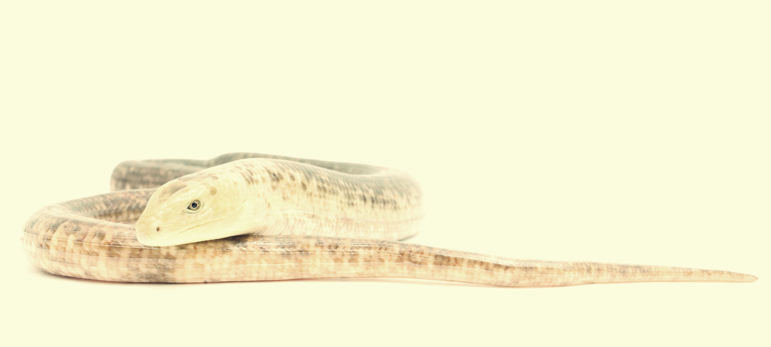 European Legless lizard
