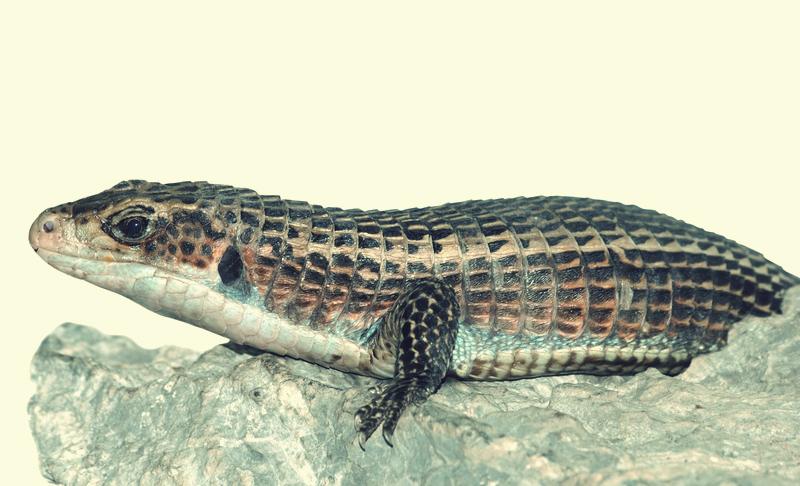 Plated lizard