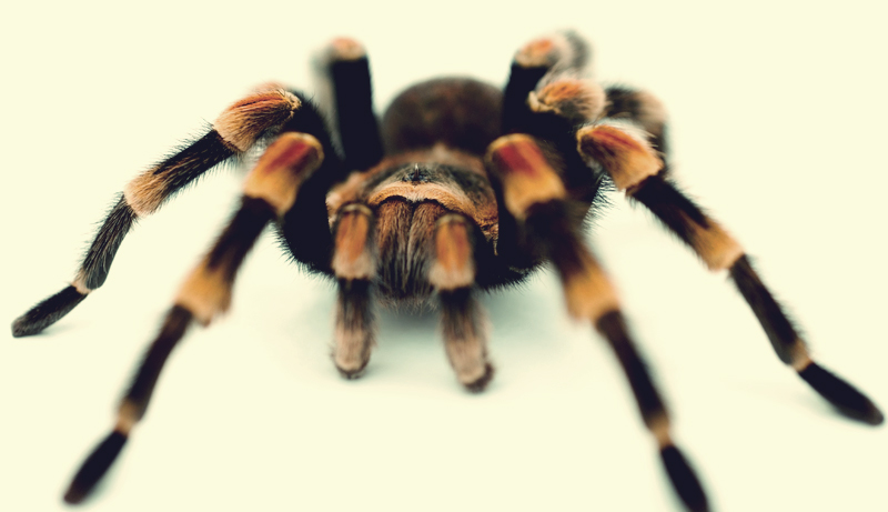 Tarantula (variable species)