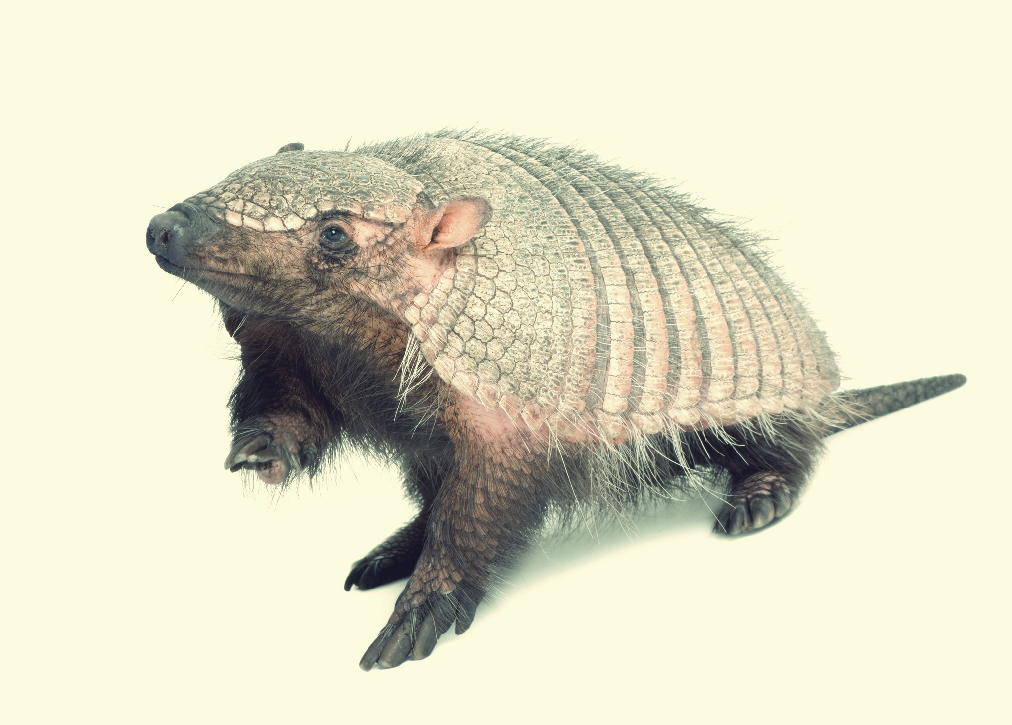 Paraguayan Screaming Hairy Armadillo